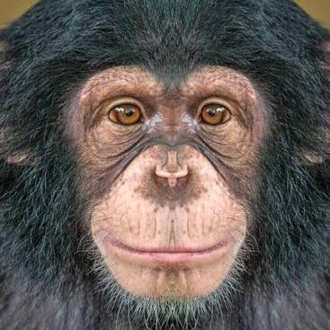Fancy Chimpanzee