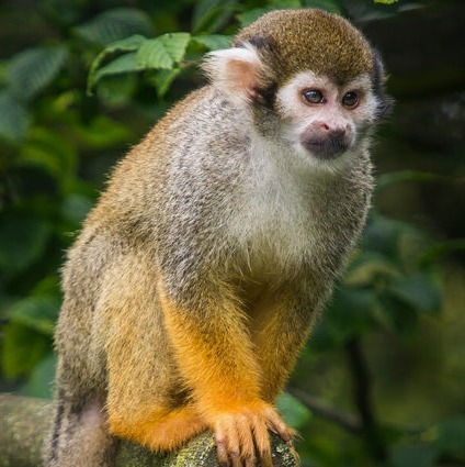 Humble Squirrel Monkey