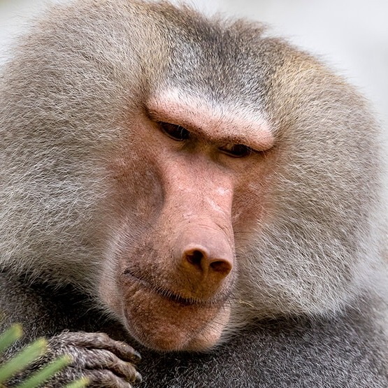 Classy Baboon
