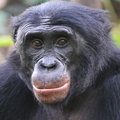Enlightened Bonobo