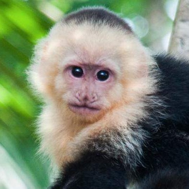 Crafty Capuchin