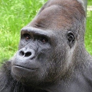 Diamond-Back Gorilla