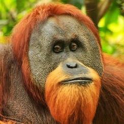 All-Knowing Orangutan