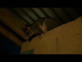 Blossom the Possum